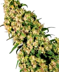 Ventajas de las semillas Jack Herer