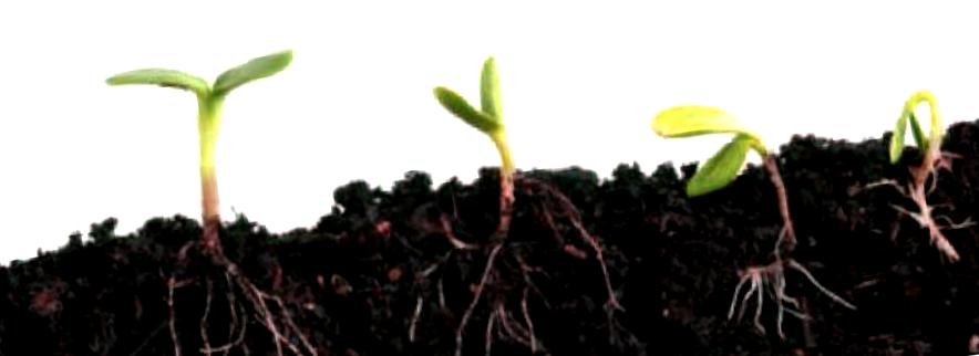 Opiniones de las semillas Professional Seeds de tipo feminizadas
