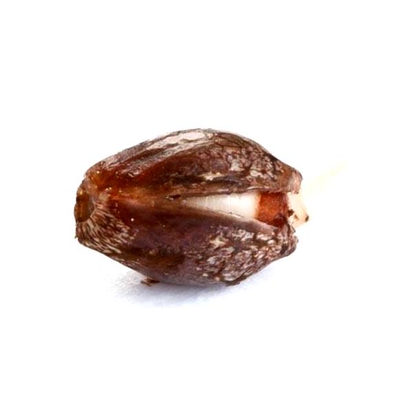 Catálogo completo de semillas feminizadas Alphakronic Seeds