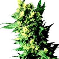 Las mejoras semillas de Professional Seeds