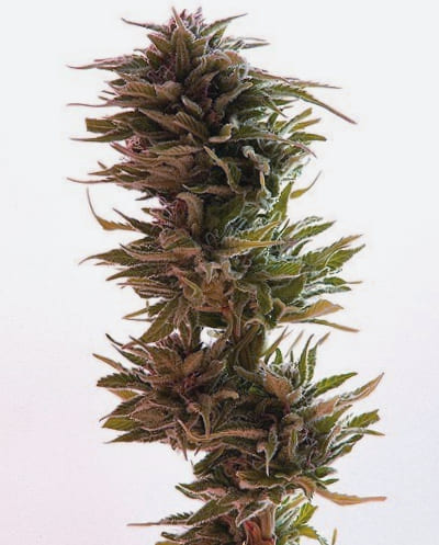 Comprar semillas Karma Genetics regulares