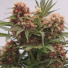 Opiniones sobre las semillas absolute cannabis seeds regulares