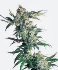 Semillas de marihuana regulares Mr. Nice