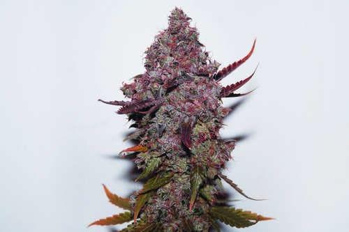Semillas de marihuana regulares baratas y productivas