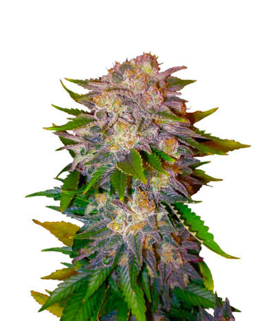 Comprar Semillas Cannabiogen Seeds Regulares