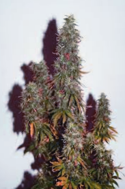 Comprar Semillas Cbd Crew Seeds Regulares