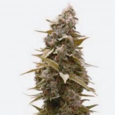 Mr. Nice, la firma de semillas de marihuana de referencia en el mercado