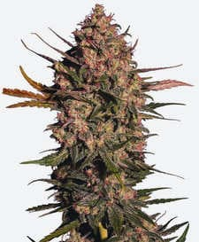 Semillas de marihuana Owl's Productions Seeds
