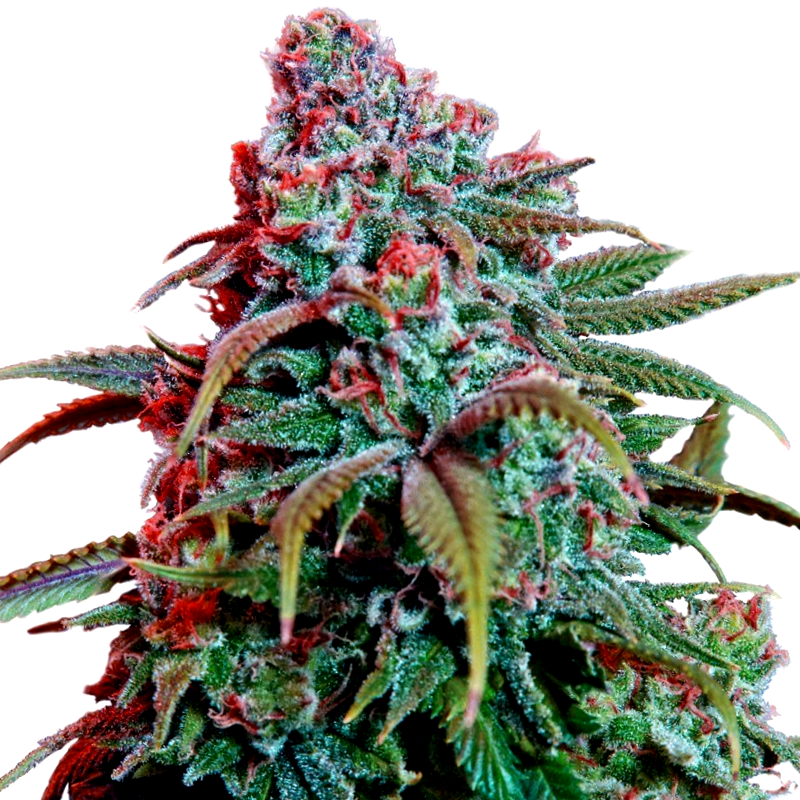 Semillas de marihuana Kiwi Seeds Autoflorecientes