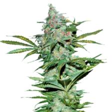 Comprar Semillas Buddha Seeds Autoflorecientes