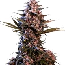 Características de las semillas de marihuana Jack Auto