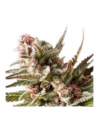 Semillas de marihuana Kalashnikov Seeds Autoflorecientes