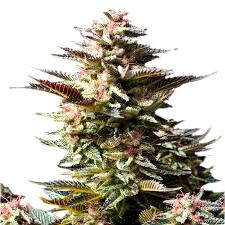 Ventajas de semillas Amsterdam Genetics autoflorecientes