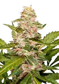Banco de Semillas Exclusive Seeds Autoflorecientes