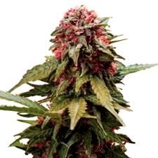 Ventajas de las Semillas Sagarmatha Seeds Autoflorecientes