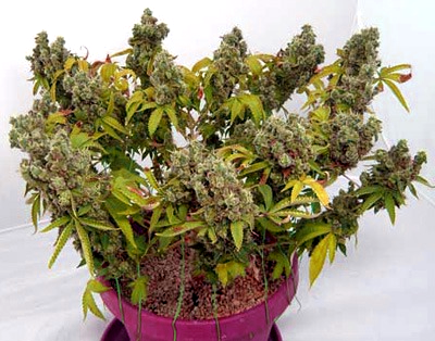 Comprar Semillas Visión Seeds Autoflorecientes