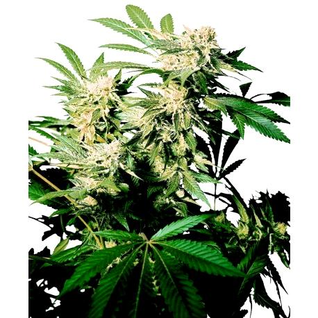 Ventajas de las Semillas Xtreme Seeds Autoflorecientes