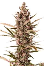 Comprar Semillas Sensi White Label Seeds Autoflorecientes