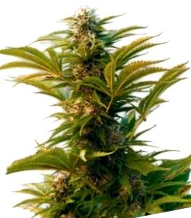 ¿Cómo son las semillas Dutch Passion autoflorecientes?