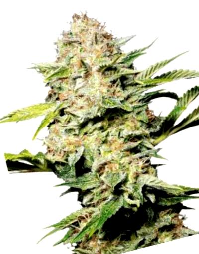 ¿Por qué cultivar Fast Buds feminizadas?