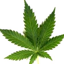 Semillas de marihuana Auto Seeds