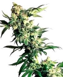 Buddha Seeds autoflorecientes baratas