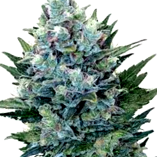 Comprar semillas The Kush Brothers Seeds tipo feminizadas
