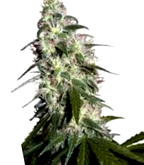 ¿Por qué comprar semillas The Kush Brothers Seeds?