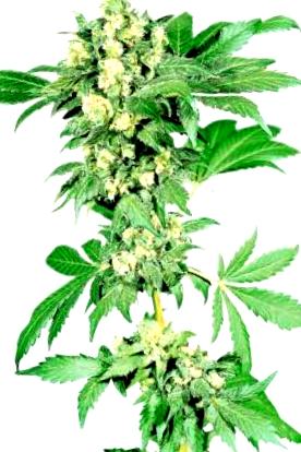 Autoflorecientes BCN Seeds