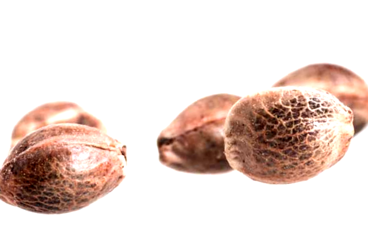 Comprar semillas de marihuana Amnesia Auto a granel