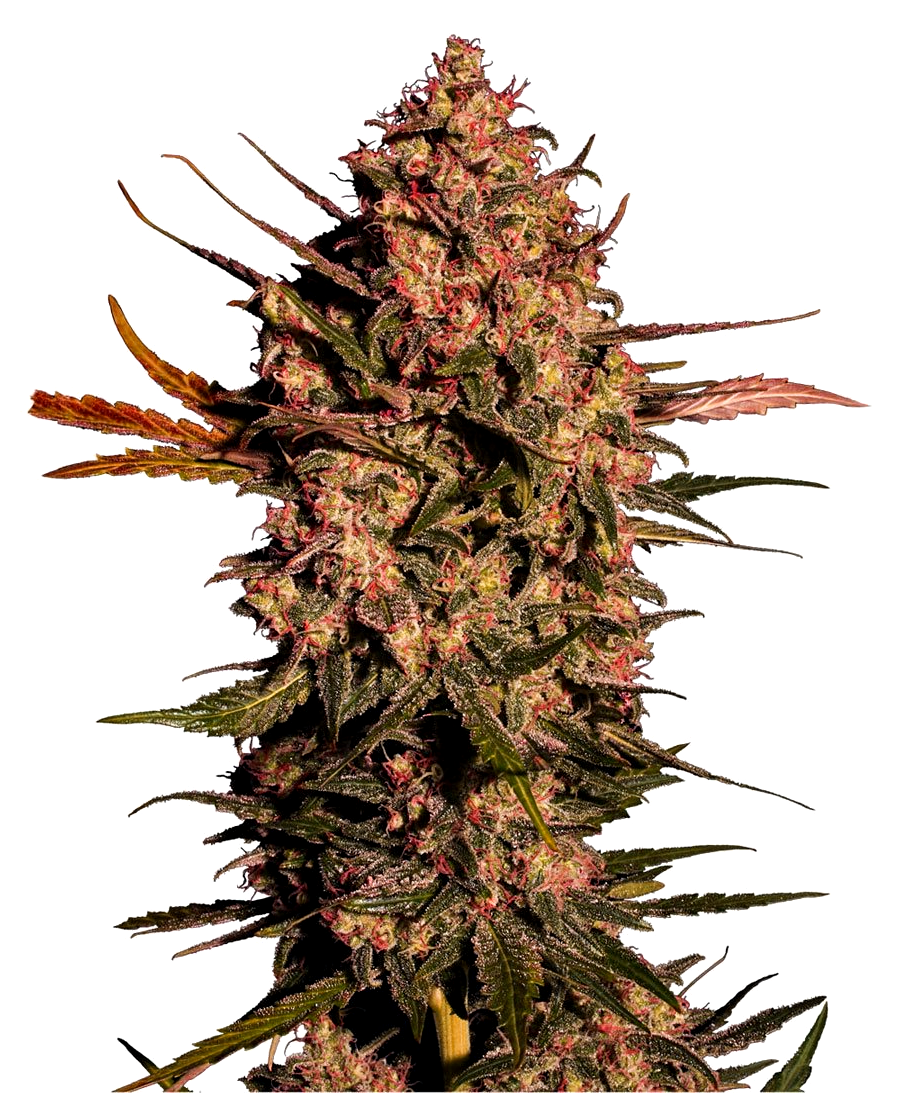 El Banco de Semillas Original Sensible Seeds Autoflorecientes