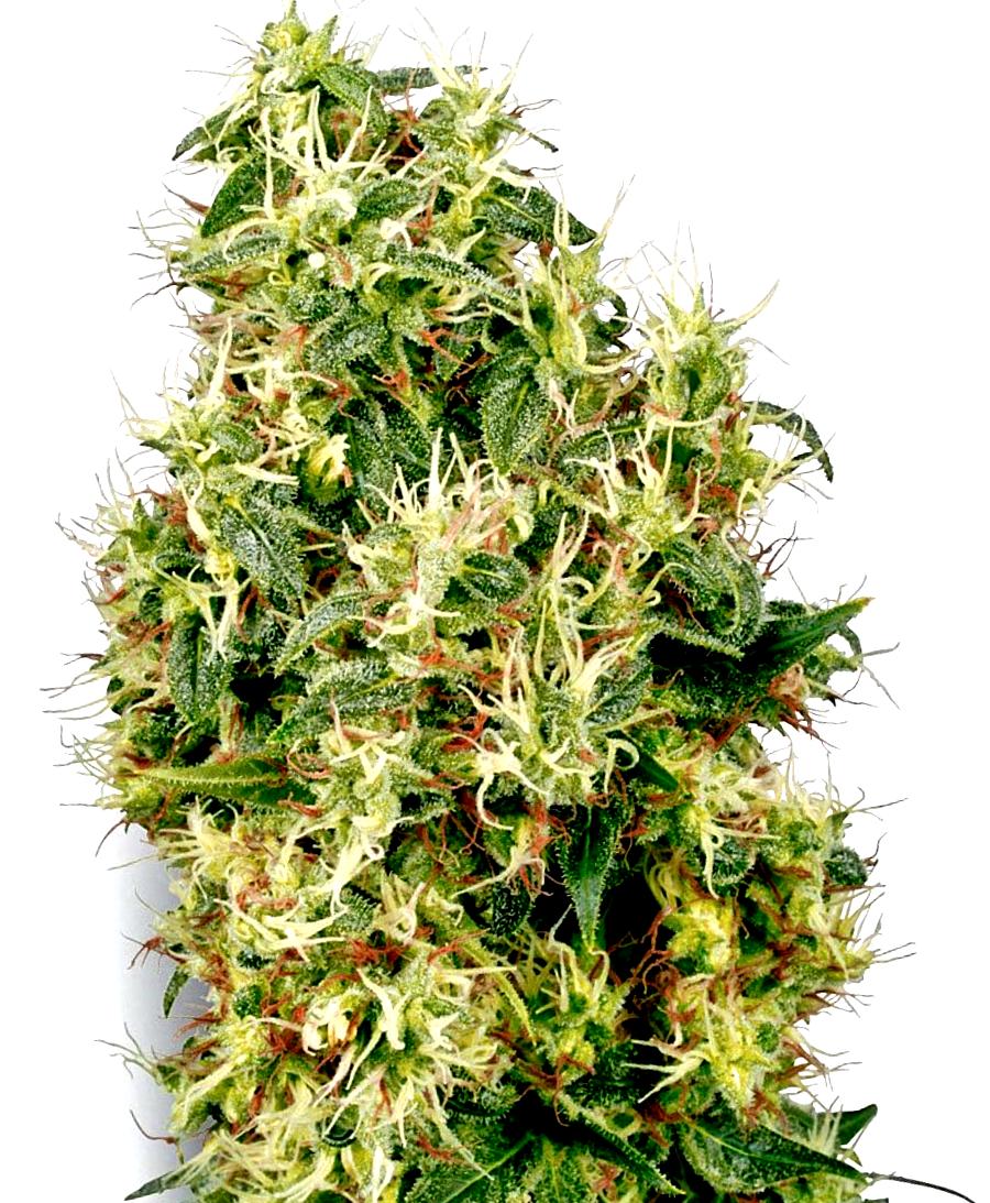 El Banco de Semillas Victory Seeds Autoflorecientes
