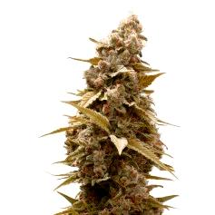 Semillas de marihuana Pineapple Expres