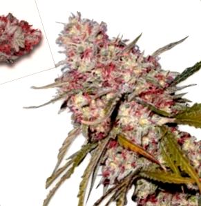 ¿De dónde son las semillas de marihuana Orange Bud?