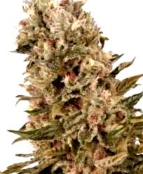 ¿Qué son las semillas de marihuana 1024?