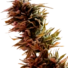 Características de las semillas sabor Haze