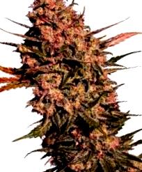 ¿Como son las semillas de marihuana Power Plant?