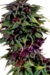 Algunas de las mejores semillas para diario