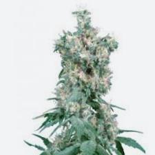 Comprar semillas de marihuana Mango Haze CBD