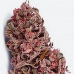 ¿Por qué Comprar la Semilla De Marihuana White Dwarf?