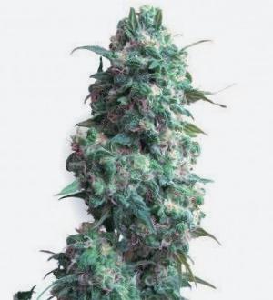 ¿Por qué son así las semillas de marihuana Mango Haze CBD?