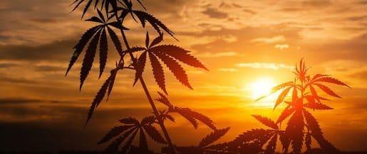 Como germinar marihuana en Agosto