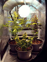 Como germinar semillas de marihuana eninterior