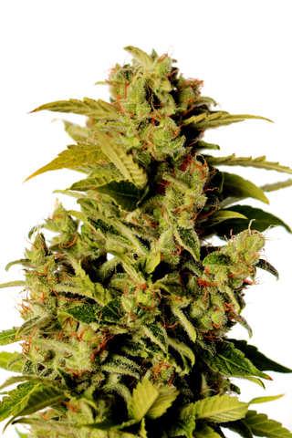 ¿Cómo son las semillas de cannabis Anubis de Pyramid Seeds?