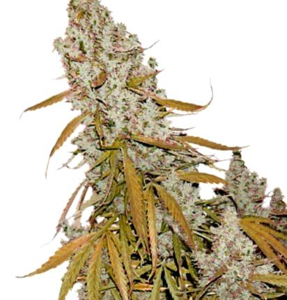 ¿Cómo son las semillas de cannabis Amnesia?