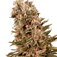 ¿Cómo son las semillas de cannabis Cheese?