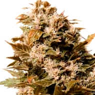 ¿Cómo son las semillas de cannabis Cream Caramel?