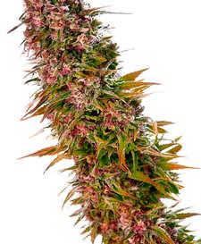 ¿Cómo son las semillas de cannabis Skunk?