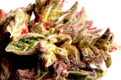 ¿Cómo son las semillas de marihuana con THC alto?