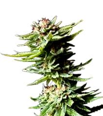 ¿Cómo son las semillas de marihuana Diamon Girl de Green House?